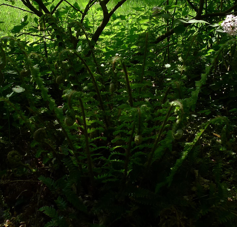 king fern