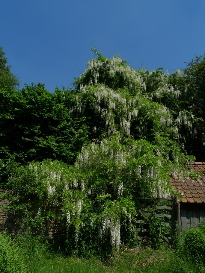 Wysteria growing through a Hawthorn tree