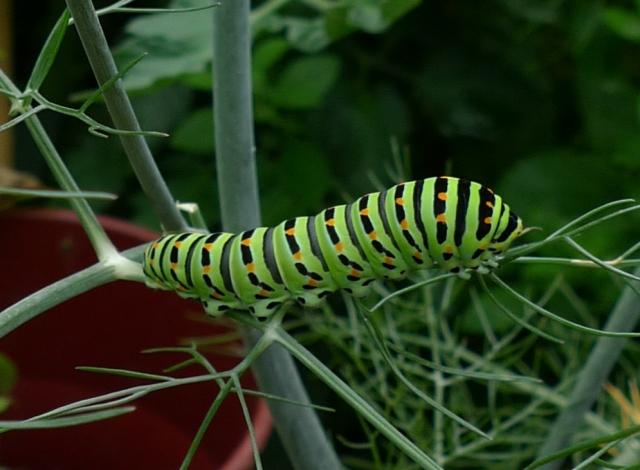 Common Swallowtail caterpillar